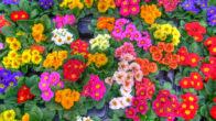 Çiçeklerin Latince İsimleri