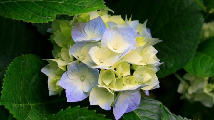 Ortanca Çiçeği Nasıl Yetiştirilir ?