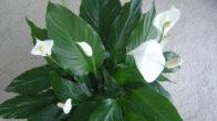 Spati Çiçeği