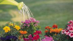 Saksı Çiçekleri Kaç Günde Ne Kadar Sulanır ?